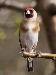Goldfinch - 0742