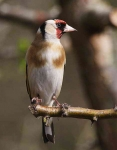 Goldfinch - 0743