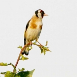 Goldfinch - 1869