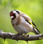 Goldfinch - 2132