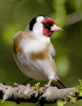 Goldfinch - 2320