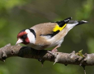 Goldfinch - 2322