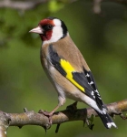 Goldfinch - 2323