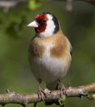 Goldfinch - 2326