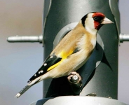Goldfinch - 2866