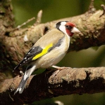 Goldfinch - 3030