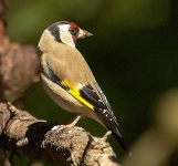 Goldfinch - 3035