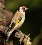 Goldfinch - 3036