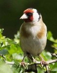 Goldfinch - 3064