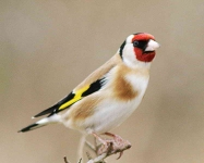 Goldfinch - 3155
