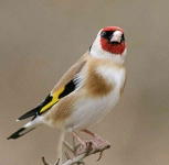 Goldfinch - 3157