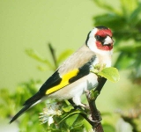 Goldfinch - 3636