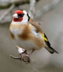 Goldfinch - 3796