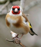 Goldfinch - 3797