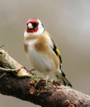 Goldfinch - 3800