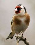 Goldfinch - 4068