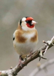 Goldfinch - 4078
