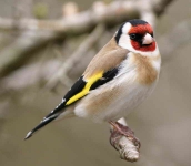 Goldfinch - 4631