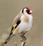 Goldfinch - 4633
