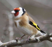 Goldfinch - 6551