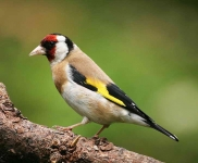 Goldfinch - 7144