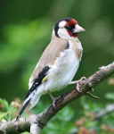 Goldfinch - 7278
