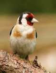 Goldfinch - 7733