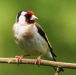 Goldfinch - 8403