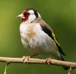 Goldfinch - 8406