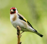 Goldfinch - 8408