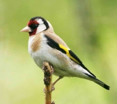 Goldfinch - 8411