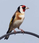 Goldfinch - 8808