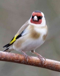 Goldfinch - 9114