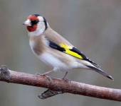 Goldfinch - 9155