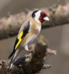 Goldfinch - 9265