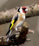 Goldfinch - 9266