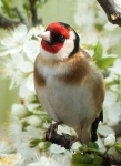Goldfinch in Blossom - 3409