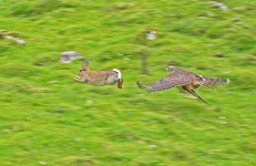 Goshawk at full speed - 2854