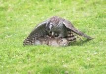 Goshawk catches Rabbit - 2872