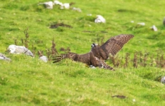 Goshawk hits Rabbit - 2821
