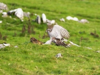 Goshawk on Rabbit - 28201