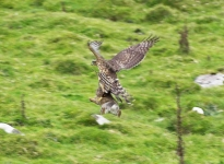 Goshawk on Rabbit - 2856