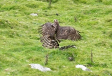 Goshawk on Rabbit - 2857
