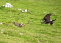 Goshawk onto Rabbit - 2818