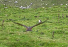Goshawk onto Rabbit - 2826