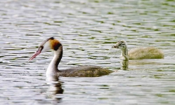 Gr Cr Grebe and chick - 6823