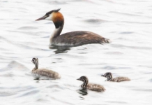 Gr Cr Grebe family - 7204