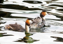 Gr Cr Grebe family - 7309