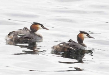 Gr Cr Grebe family - 7317