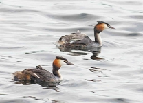 Gr Cr Grebe family - 7330